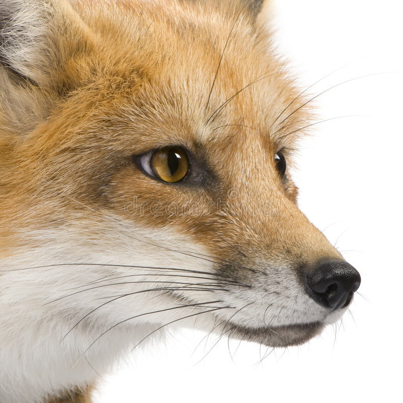 Red fox (4 years)- Vulpes vulpes royalty free stock images