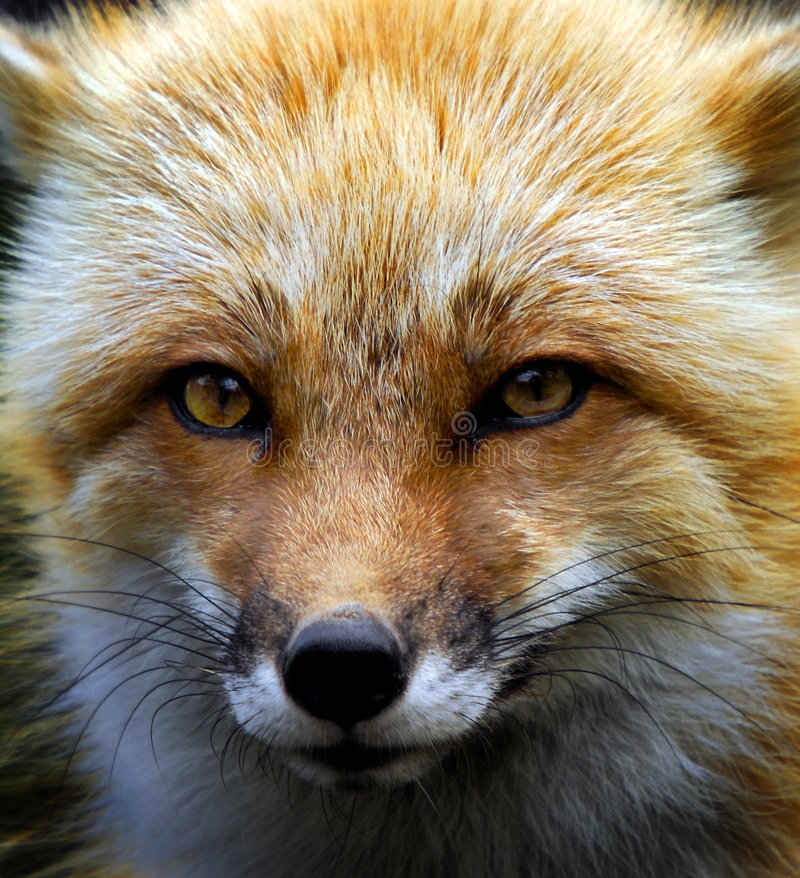 Download Red Fox stock image. Image of wildlife, forest, yukon - 6898199