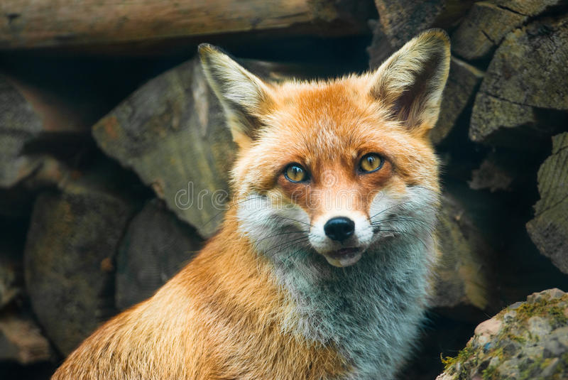 Download Red fox stock image. Image of nature, mammal, frontal - 9495933