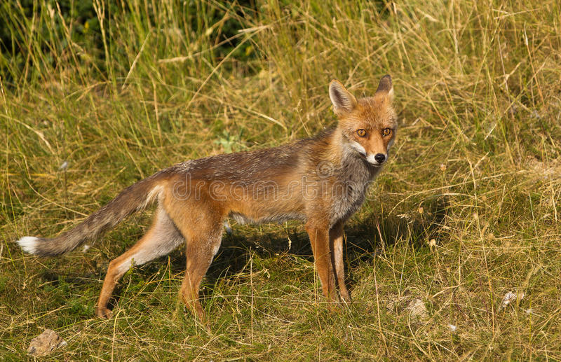 Download Red Fox on alert stock photo. Image of predator, careful - 20911526