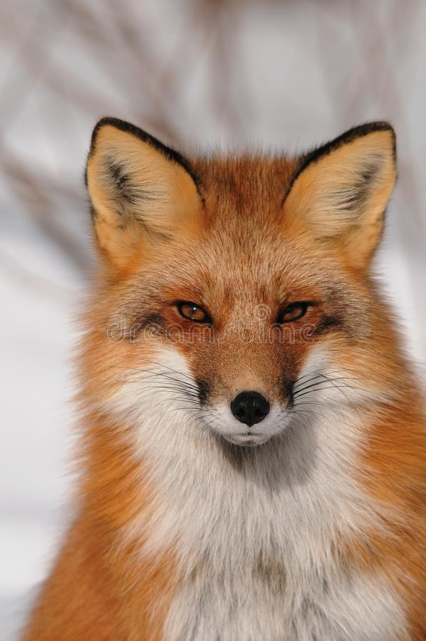 7 537 Fox Head Photos Free Royalty Free Stock Photos From Dreamstime