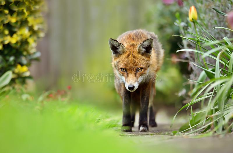 Red fox in the back garden in spring stock image