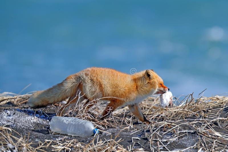 Red Fox, with catch bird and rubbish plastic bottle. Wildlife scene from nature. Cold winter with beautiful fox. Orange fur coat a. Nimal royalty free stock images