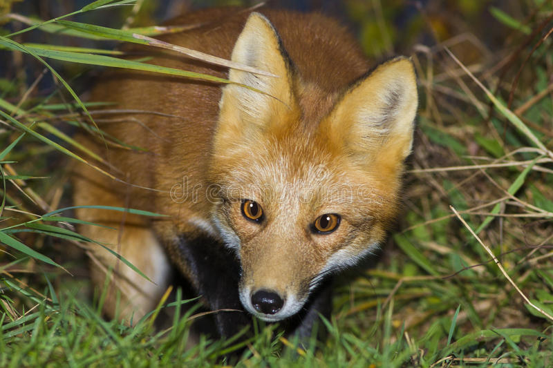 Download Red fox close up stock photo. Image of hunting, vulpes - 35103818