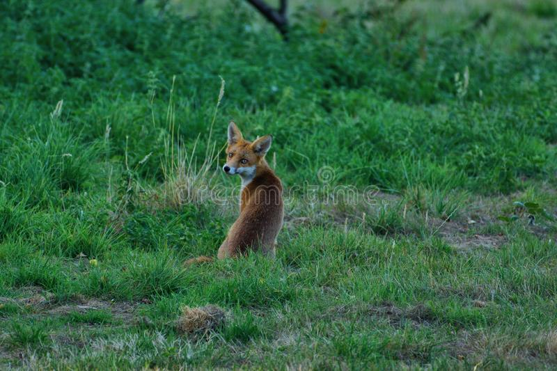 Fox cub, vulpes vulpes, `have you seen my Mummy?` royalty free stock image