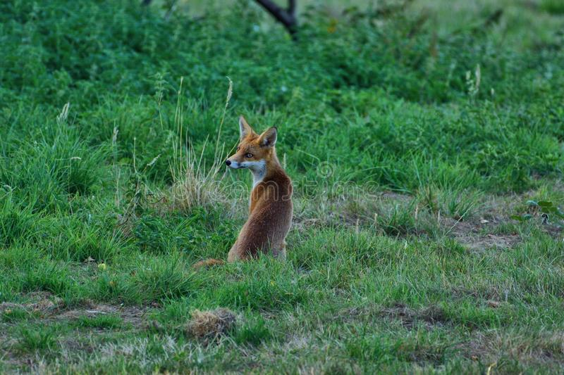 Fox cub, vulpes vulpes, `I know I had a mother once` royalty free stock photo
