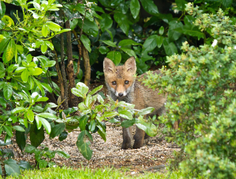 Download Red Fox Cub Hiding Stock Photos - Image: 25307073