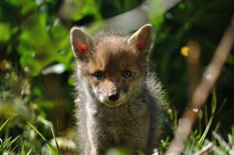 Download Red Fox Cub Looking At Camera Lens Stock Photo - Image: 24444872