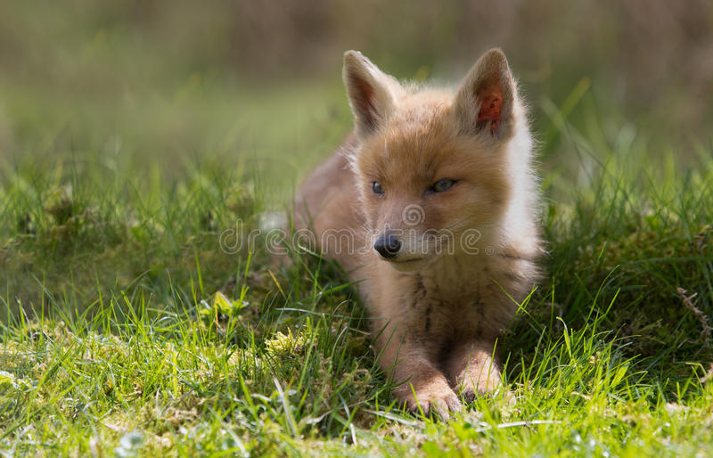 Download Red fox cub stock image. Image of close, wild, little - 31100001