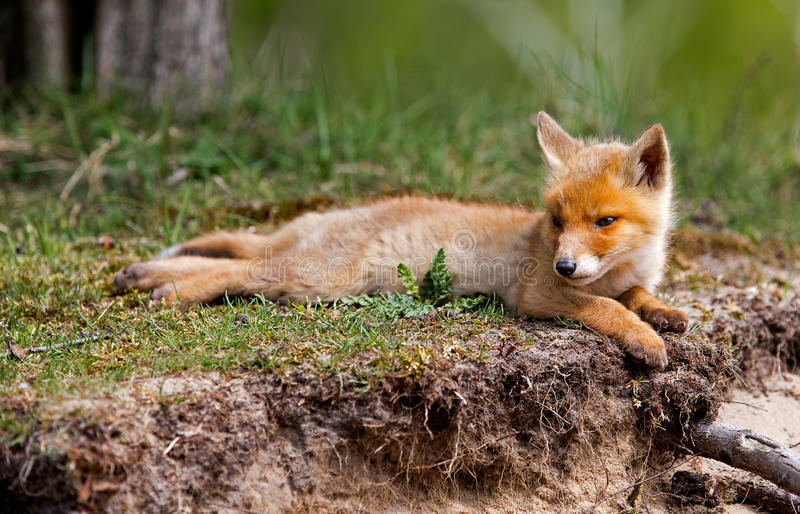 Download Red fox cub stock image. Image of spring, wildlife, green - 31100041