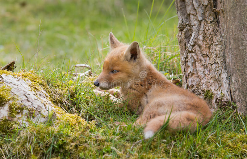 Download Red fox cub stock image. Image of young, explore, look - 31100085