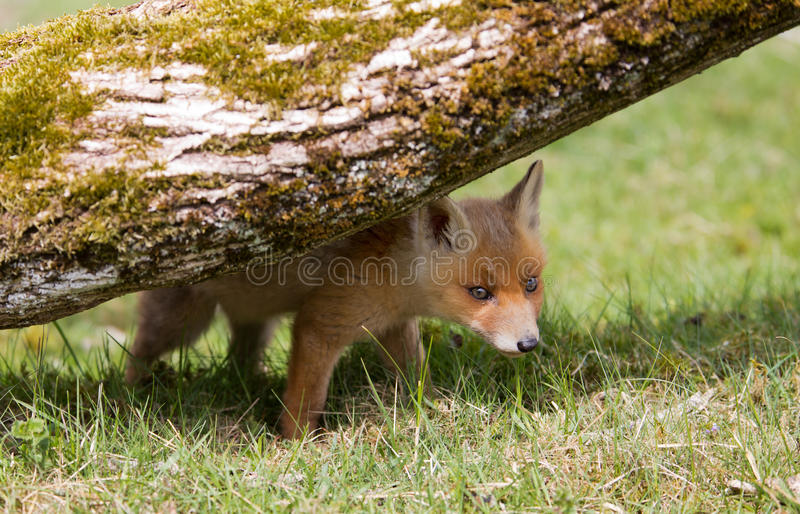 Download Red fox cub stock photo. Image of animal, little, furry - 31100054