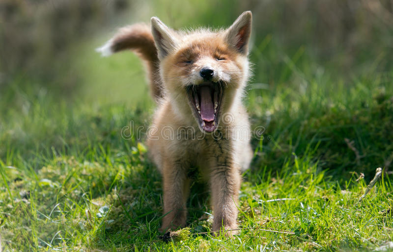 Download Red fox cub stock image. Image of carnivore, face, animal - 31100017