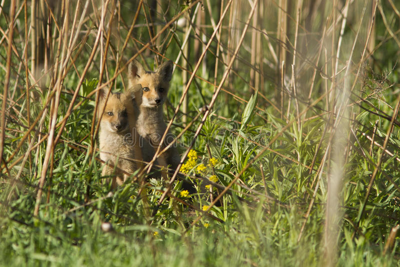 Download Red fox cubs stock photo. Image of hunt, cunning, reserve - 31127176