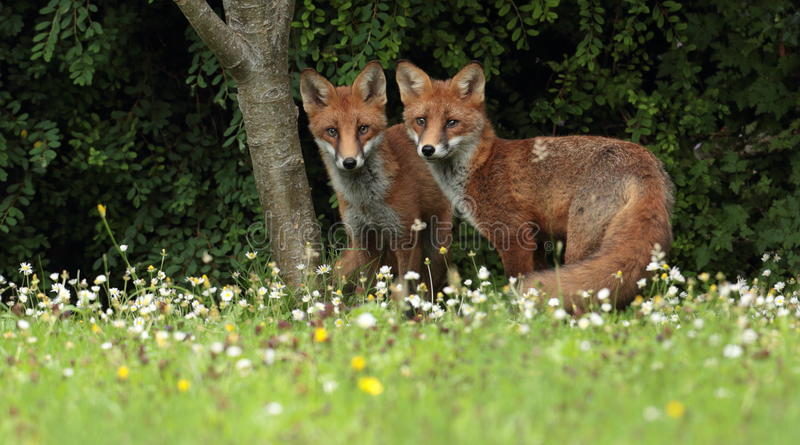 Red fox cubs. A red fox cubs walking through grass and wildflowers royalty free stock image