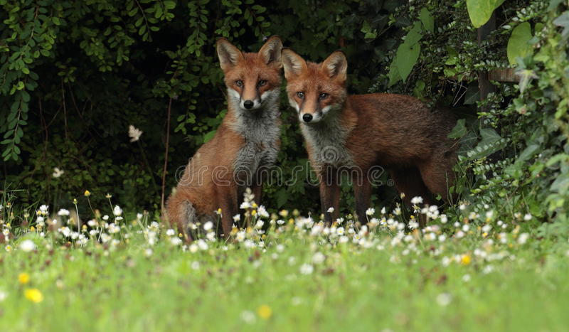 Red fox cubs. A red fox cubs walking through grass and wildflowers stock photos