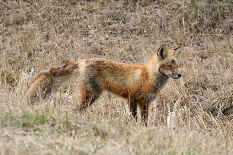 Red Fox In Early Spring Stock Images