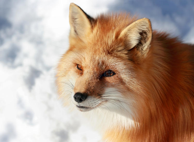 Red fox face. Portrait of red fox during winter stock photo