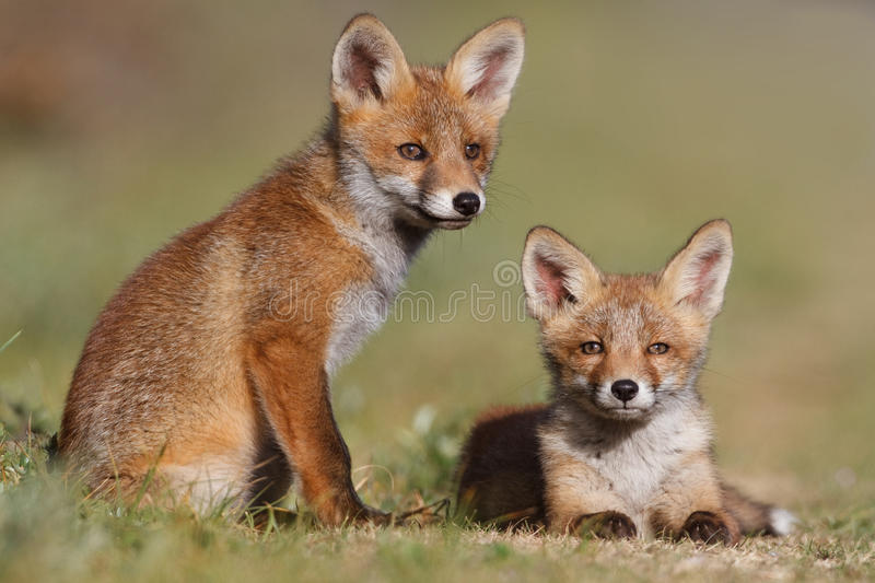 Download Red fox family stock image. Image of family, wildlife - 19715349