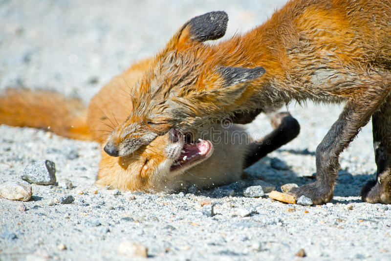 Download Red Fox Family stock photo. Image of fighting, night - 26389144