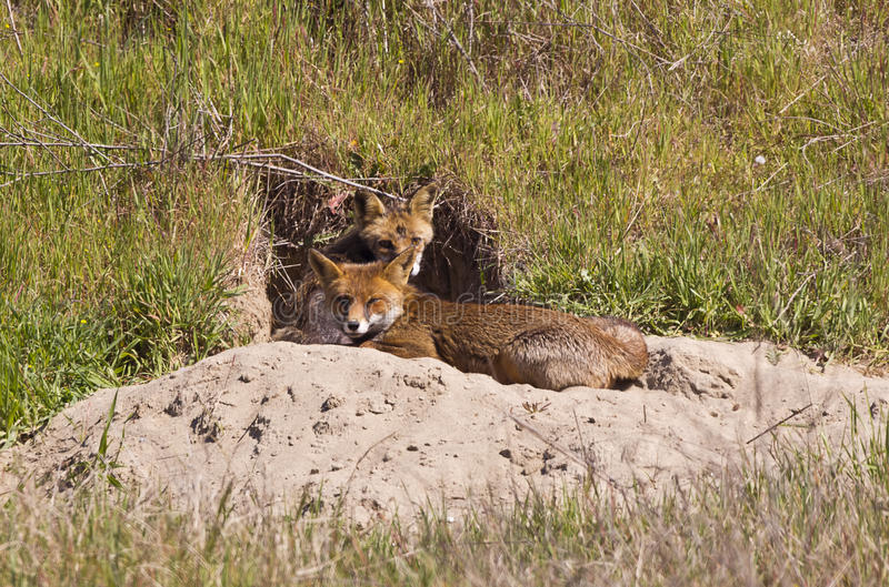 Red Fox Family Stock Photo