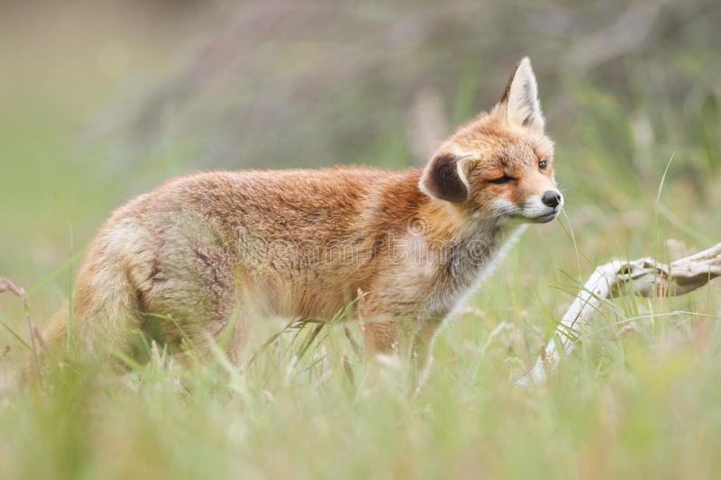 Download Red fox in field stock photo. Image of field, green, branch - 25830244