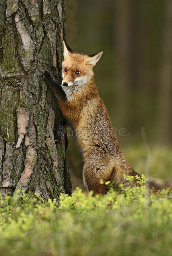 Red Fox. In forest looking around stock photos
