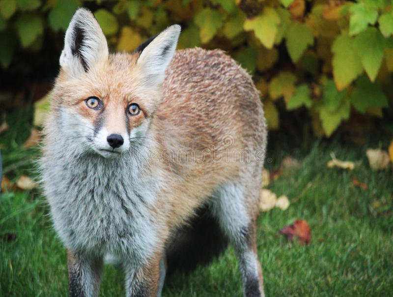 Red fox in a garden stock photography