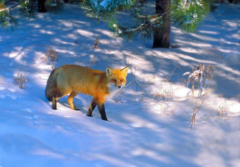 Red fox in golden light 3 royalty free stock photography