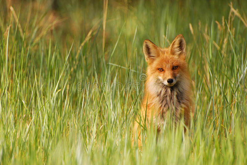 Download Red Fox in Grass stock image. Image of outdoor, carnivore - 26081435