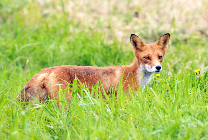Red fox in a green grass. Wildlife Kamchatka stock image