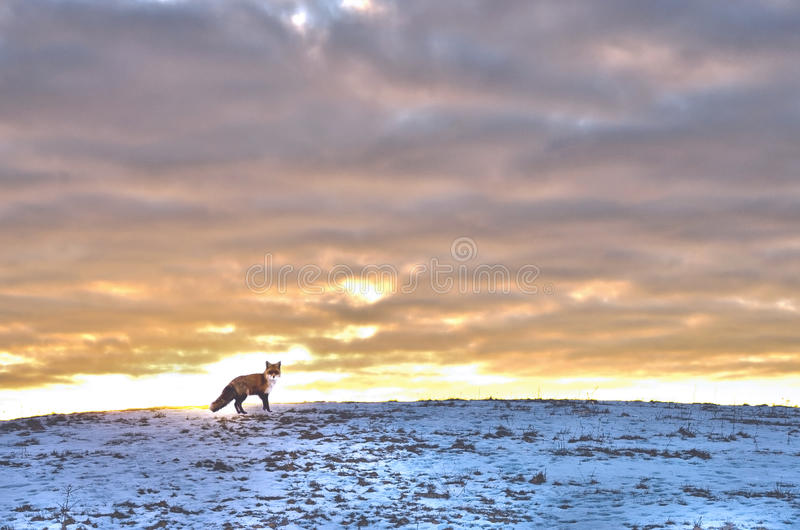 Red fox on a hill at sunset. Winter background with snow and fox royalty free stock images