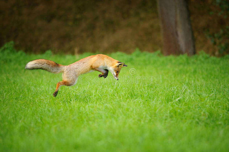 Red fox on hunt, mousing in grass field. Red fox on hunt when mousing in grass field during autumn with forrest in background royalty free stock photo