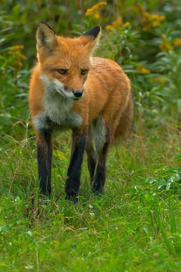 Red Fox. Hunting in the long grass. Rosetta McClain Gardens, Toronto, Ontario, Canada royalty free stock photo