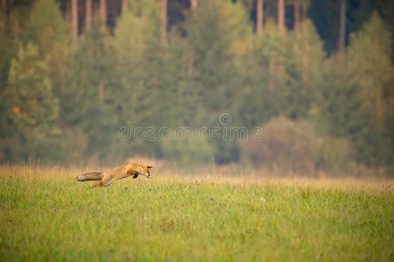 Red fox hunting on a meadow with forest in background in autumn. stock photography