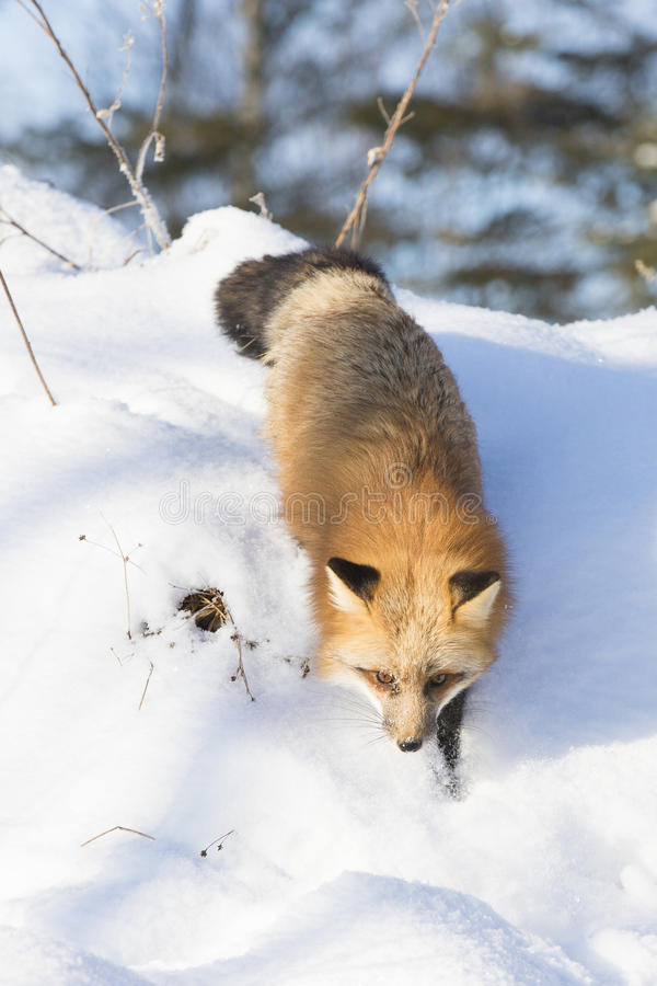Red fox hunting for rodents stock photo