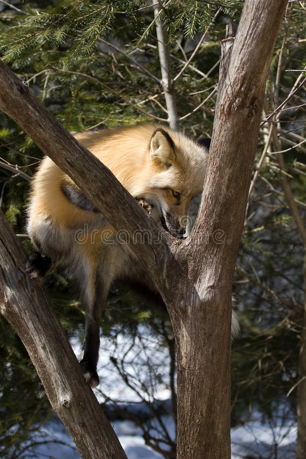 Red Fox IV stock photography