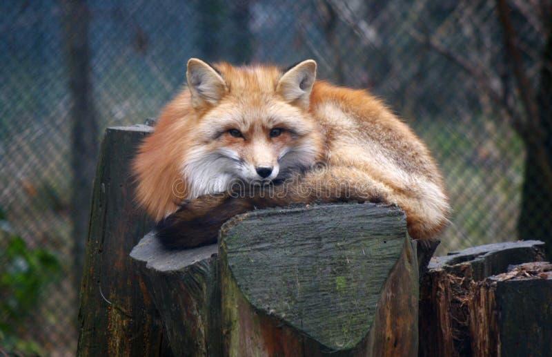 Download Red fox stock image. Image of harz, fuer, referenzdatenbank - 40697879
