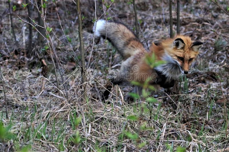 Red Fox jumping on prey royalty free stock photos