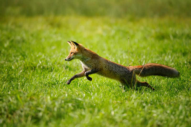 Red fox jumping and runing in green grass. From side view stock images