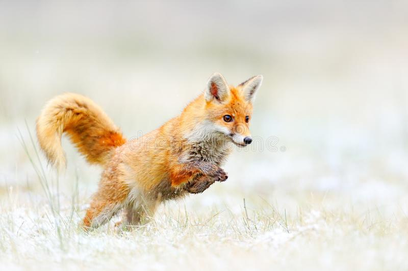 Red Fox jumping, Vulpes vulpes, wildlife scene from Europe. Orange fur coat animal hunting in the nature habitat. Fox jump on the. Green forest meadow with royalty free stock image