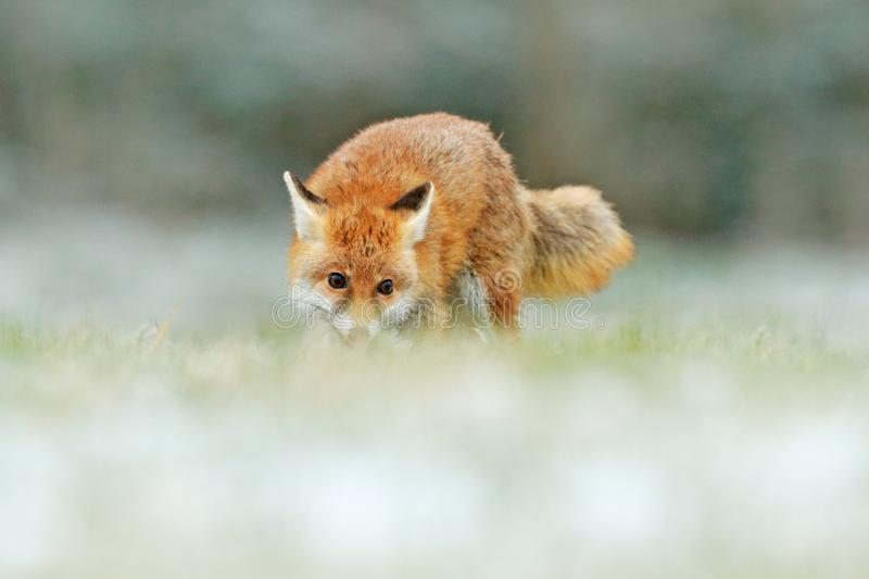 Red Fox jumping , Vulpes vulpes, wildlife scene from Europe. Orange fur coat animal in the nature habitat. Fox on the green forest. Meadow stock image