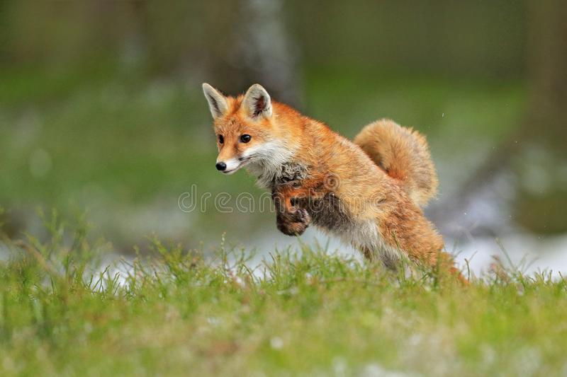 Red Fox jumping , Vulpes vulpes, wildlife scene from Europe. Orange fur coat animal in the nature habitat. Fox on the green forest. Meadow stock photo