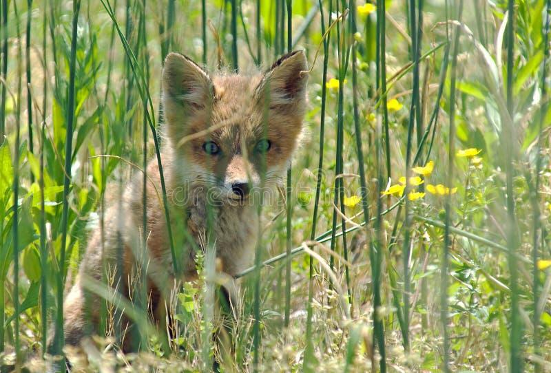 Red Fox Kit stock image