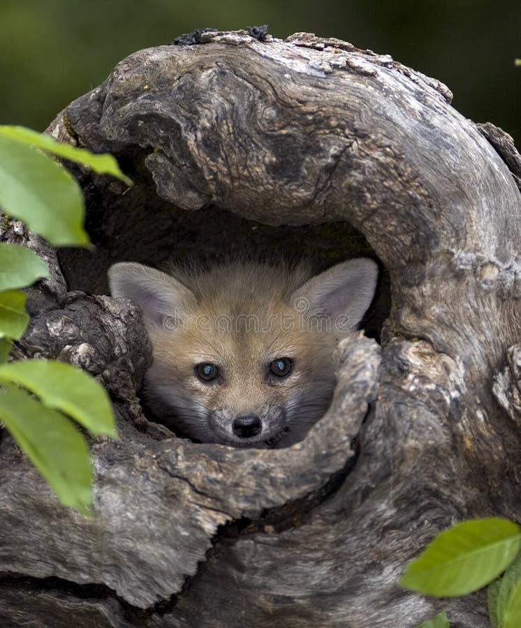 Red fox kit royalty free stock image