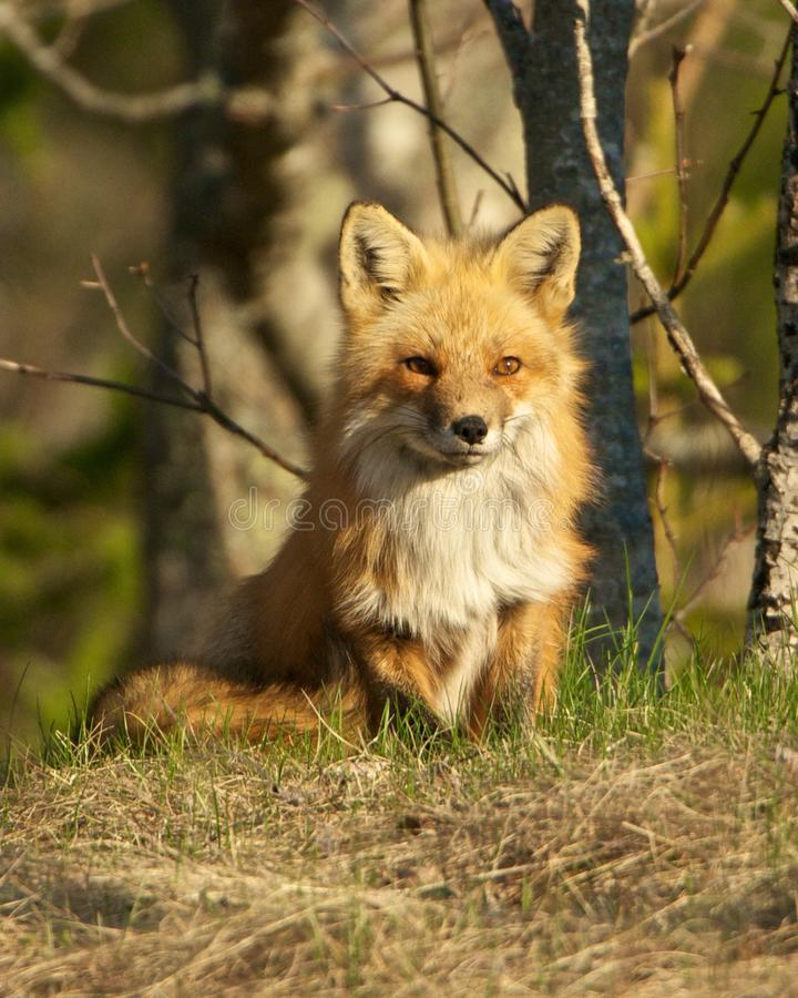 Red Fox Kit stock photo