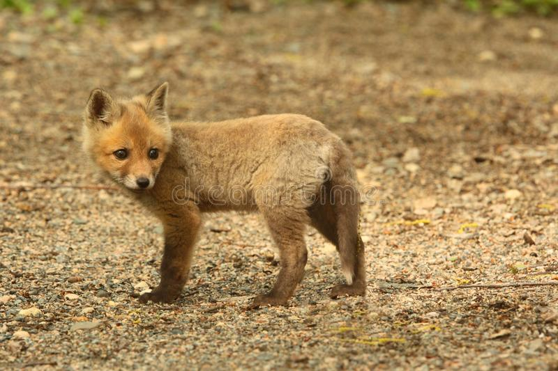 Download Red Fox Kit stock image. Image of spring, animal, newborn - 36129649