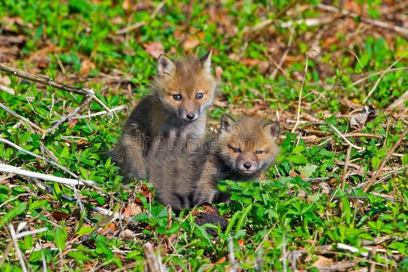 Red Fox Kits Royalty Free Stock Image