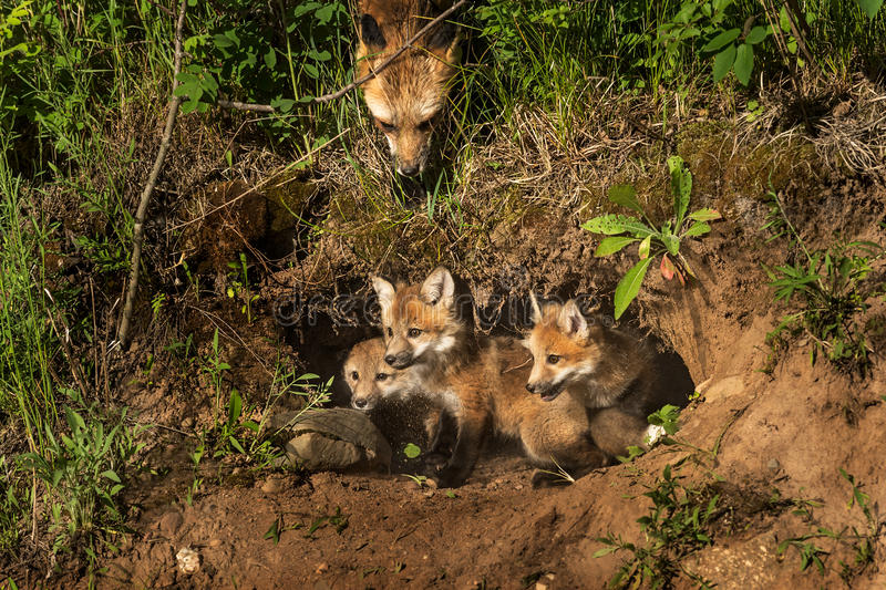 Red Fox Kits in Den (Vulpes vulpes) Mother Watching from Above. Captive animals stock photo