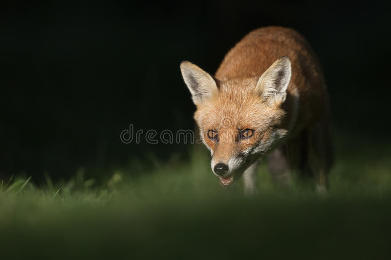 Download Red Fox stock photo. Image of predatory, outdoors, spring - 29952082